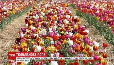 Для цветочного фестиваля на Волыни высадили два миллиона тюльпанов разных сортов