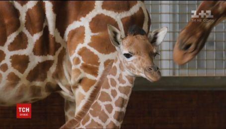 В американском зоопарке в Далласе журналистам показали новорожденного жирафа