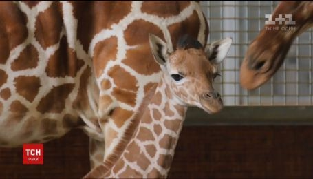 В американському зоопарку у Далласі журналістам показали новонароджене жирафеня