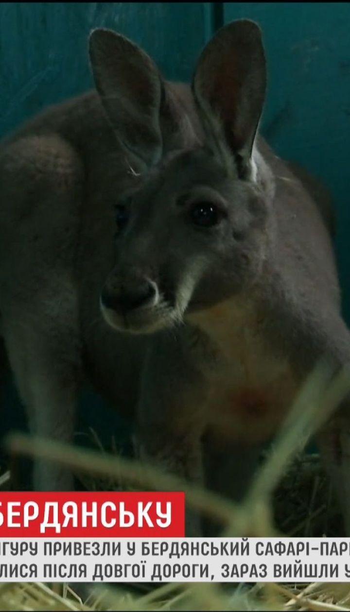 В Бердянском сафари-парке появилась пара австралийских кенгуру