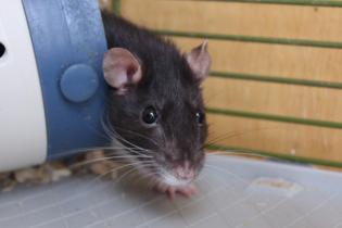 В погоне за экологичностью автомобили становятся жертвами крыс
