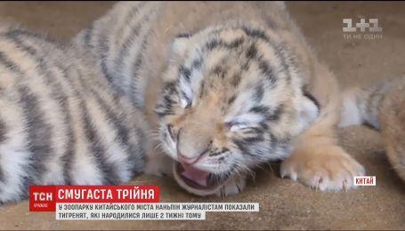 В китайском зоопарке показали новорожденную тройню тигрят