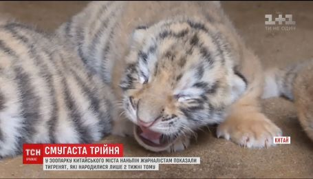У китайському зоопарку показали новонароджену трійню тигренят