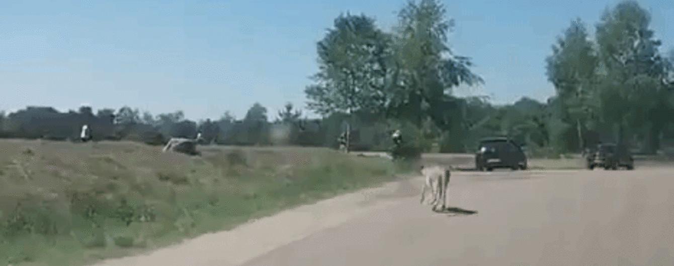 Жуткое видео: гепарды чуть не разорвали семью с ребенком во время сафари