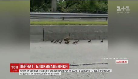 В Запорожье утки заблокировали движение на дамбе