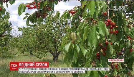 ТСН узнавала, изменится ли цена на черешню из-за хорошего урожая