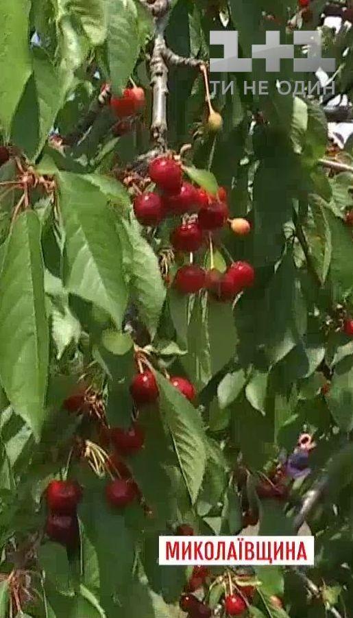 ТСН дізнавалась, чи зміниться ціна на черешню через гарний врожай