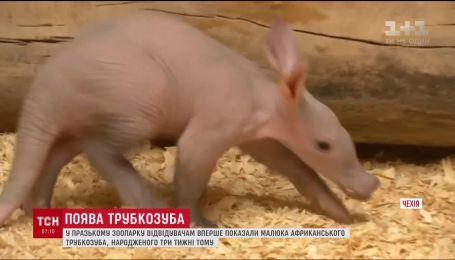 В пражском зоопарке посетителям впервые показали малыша африканского трубкозуба