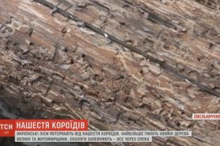 Екологи констатують наближення катастрофи через нашестя жуків-короїдів