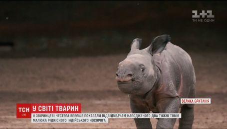 На заході Британії вперше показали новонароджене маля індійського носорога