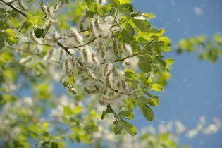 Алергія через пилок рослин може спровокувати астму. Як захиститися