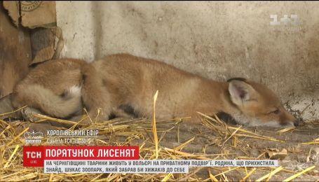 На Черниговщине семья пытается спасти двух лисят, которые попали в капканы