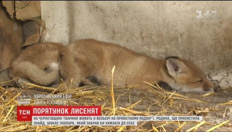 На Чернігівщині родина намагається врятувати двох лисенят, які потрапили в капкани