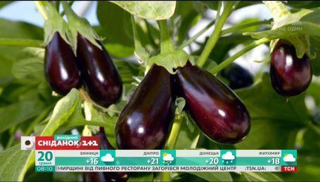 Як ефективно боротися зі шкідниками, аби зібрати гарний урожай баклажанів та перцю
