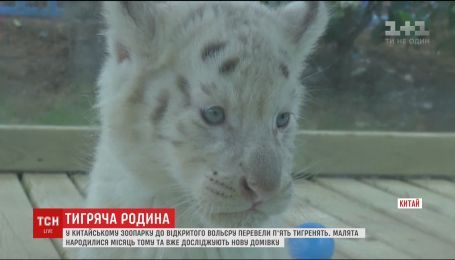 В китайском зоопарке в открытый вольер перевели пятерых котят снежного тигра