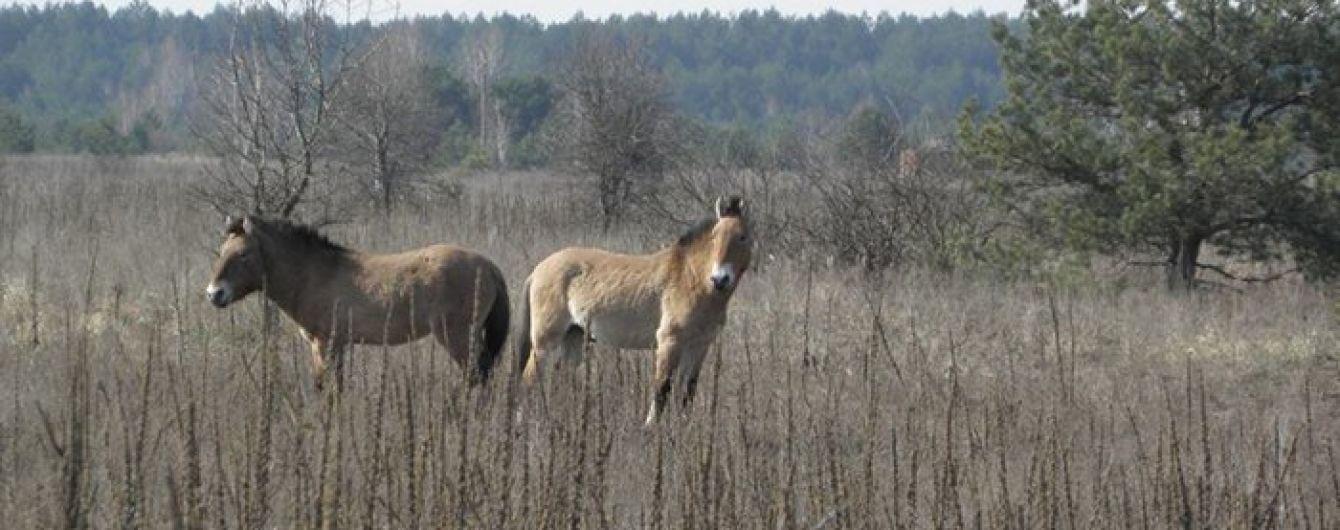 Ученые подсчитали популяцию уникальных лошадей Пржевальского в Чернобыльской зоне