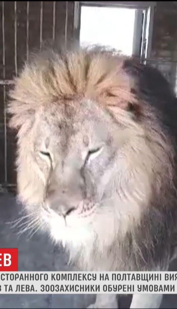 Зоозащитников возмутили условия содержания льва на частной территории у трассы на Полтавщине