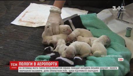 Собака-поводырь родила в аэропорту перед самым отлетом самолета хозяев