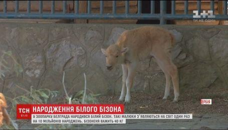 В зоопарке Белграда родился белый бизон