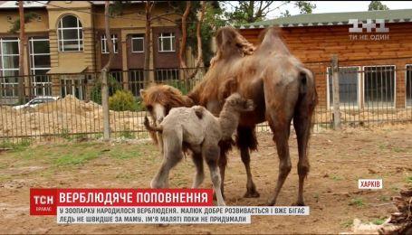 У Харківському зоопарку народилося верблюденя