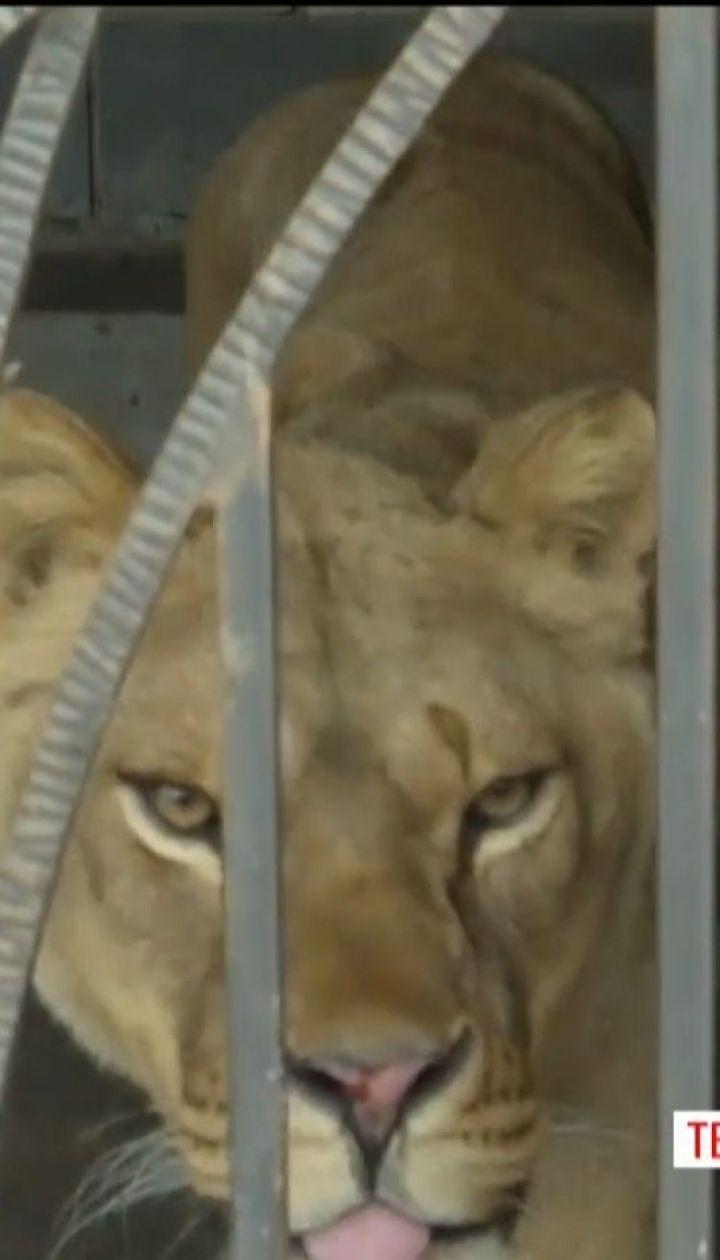 На Тернопільщині 13-річного хлопчика скалічила левиця