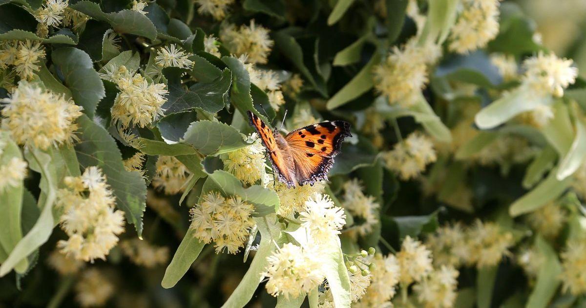 Масові навали метеликів, які заполонили більшу частину України, трапляються раз на десятки років - зоолог