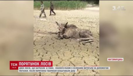 На Житомирщині екологи та селяни врятували з глиняної пастки двох лосів