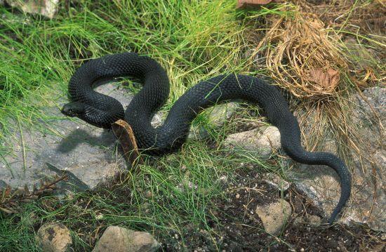 Змія-вбивця у Карпатах і відсутність сироватки: подробиці смерті 4-річної дівчинки від укусу гадюки