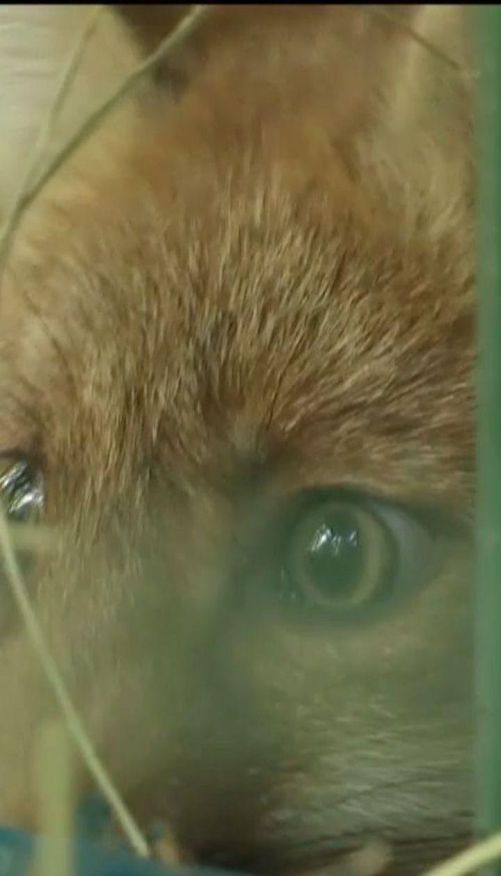 Лисенят, яких врятували на Чернігівщині, перевезли до еко-парку на Харківщину