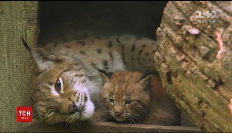 В Австрийском зоопарке родились редкостные рыси