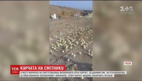 В Грузии на свалке вылупились сотни цыплят