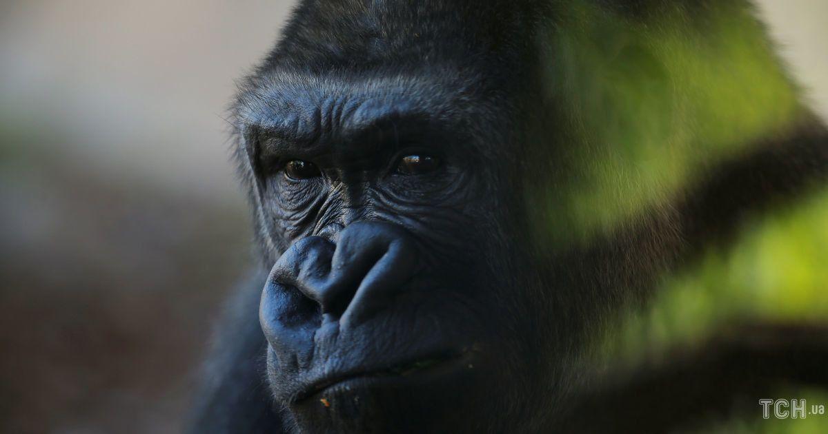 Брутальный и задумчивый. Reuters опубликовало эмоциональные фото сурового самца гориллы