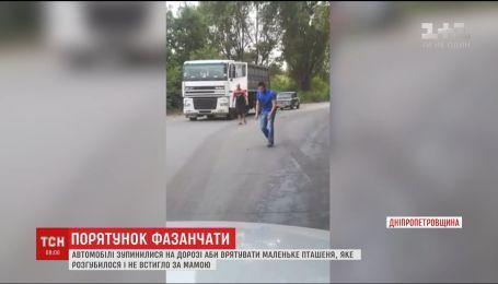 На Днепропетровщине машины остановились, чтобы спасти крошечного фазана