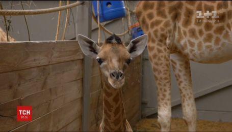 В бельгийском зоопарке родился жираф