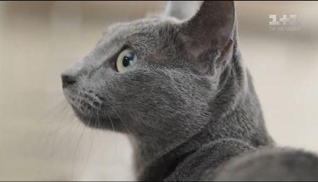 О наших любимцах. Русская голубая кошка - благородная, аккуратная и преданная