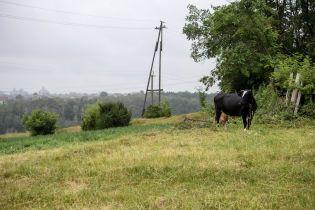 Правительство будет давать крестьянам по 2,5 тысячи гривен за каждого теленка, которое они вскормили