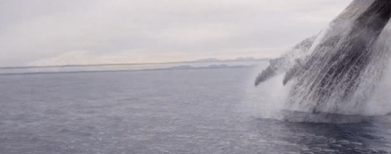 Неймовірні кадри: в Австралії горбатий кит несподівано виринув і зробив пірует у повітрі