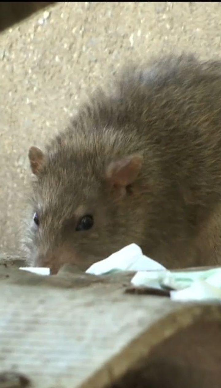 Одесситы страдают от нашествия крыс