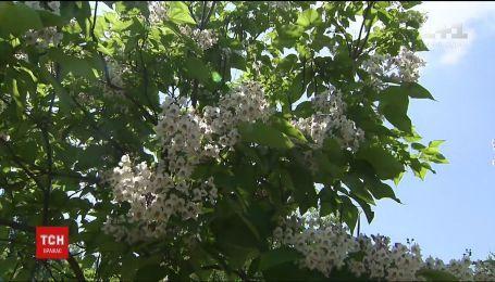 Киевлянам предлагают выбрать, какие деревья посадить в столице вместо каштанов