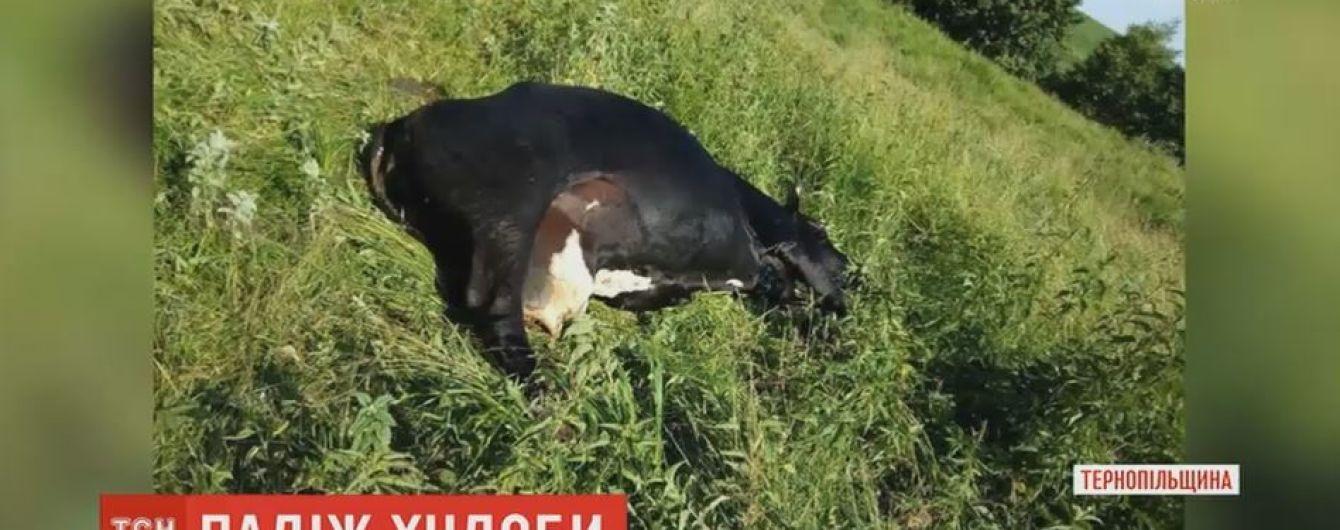 Спалах сибірки на Одещині: селяни зізнаються, що корови мруть уже давно