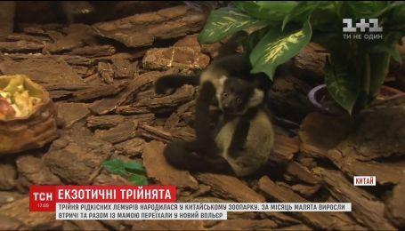 Трьох малюків-лемурів вперше показали відвідувачам сафарі-парку у Китаї