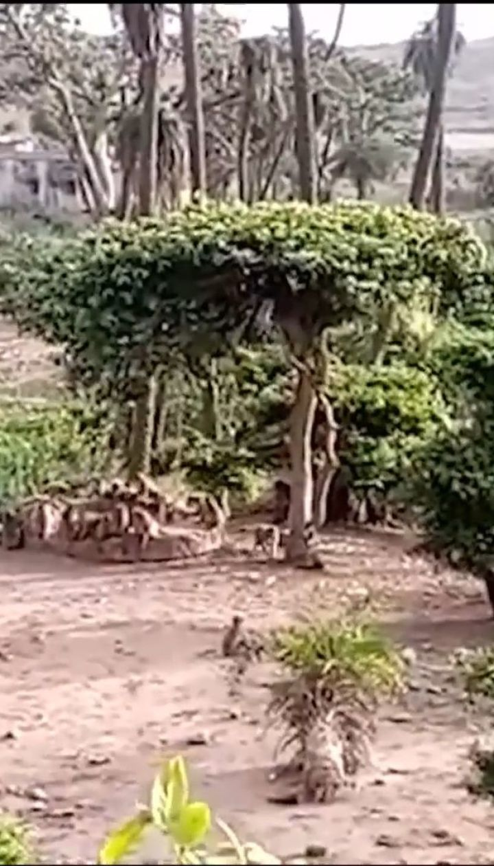 В Индии обезьяны спасли с колодца леопарда