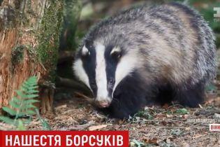 В Винницкой области барсук напал на деревню и покусала человека, коров, собаку и козу