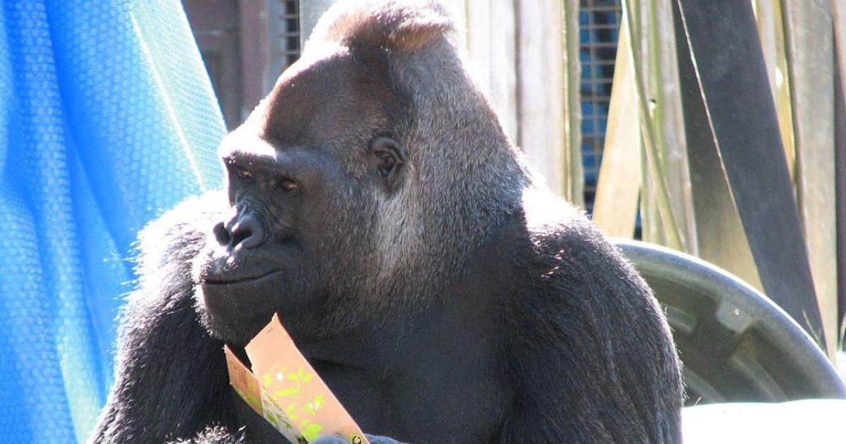 @ facebook.com/Koko-The-Gorilla-Foundation