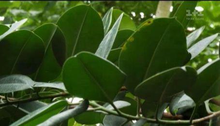Как ухаживать за фикусом в домашних условиях - Зеленый участок