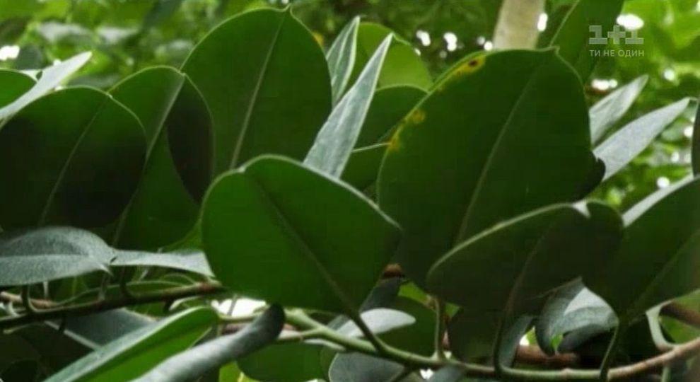 Відео - Як доглядати за фікусом в домашніх умовах – Зелена ділянка ... 3cd4ec6db6dc5