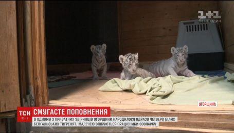 В частном зверинце Венгрии родились сразу четверо белых бенгальских тигрят