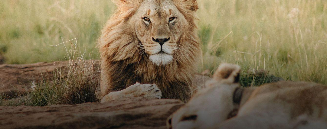 У південноафриканському заповіднику леви загризли мисливців на носорогів
