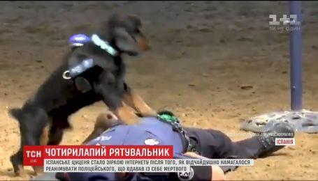 Испанское щенок стал звездой Интернета после того, как пытался спасти жизни полицейскому