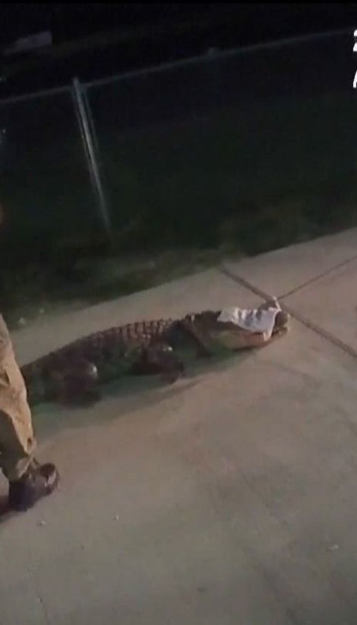 У Техасі спеціалісти приборкали 2-метрового алігатора, який прямував до супермаркету
